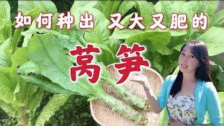 【种植34】莴笋种植如何种出又粗又壮的莴笋 | 肉质茎形成关键期选种育苗移栽施肥浇水采收留种...全攻略 How to grow celetuce / stem lettuce
