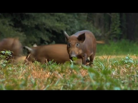 Georgia Landowners Fighting Feral Hogs Can Get USDA Assistance