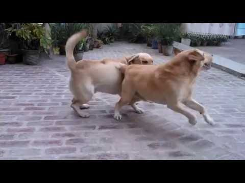 Dog barking Labrador