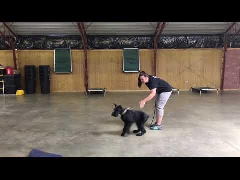 Early Grip Work W/Giant Schnauzer Puppy 'Quartz' 6 Mo's