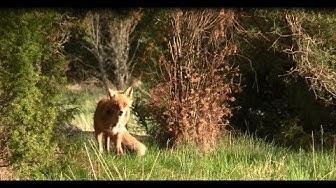 Ketun pillitys / Fox calling