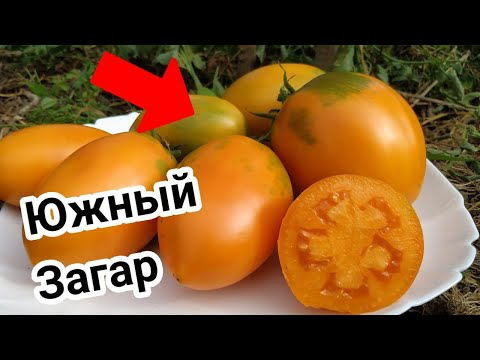 Томат ЮЖНЫЙ ЗАГАР 🍅от СибСада.  Красавчик !!!