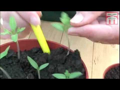 How To Grow Tomato Seeds Video With Thompson & Morgan. - Youtube