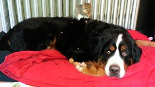Repeat youtube video Squirrel eating almond on Bernese Moutain dog's back