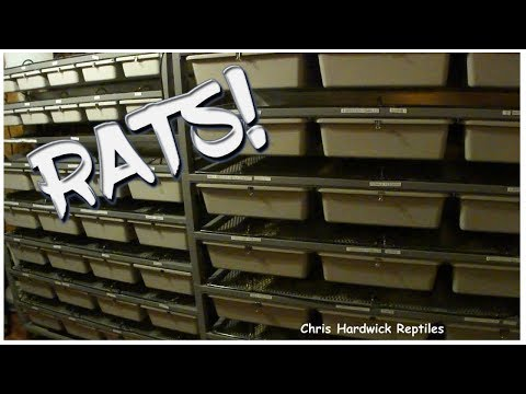 How To Maintain A Colony Of 80 Female Rats