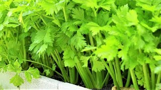 How to transplant and care celery, one of the best vegetable to grow
