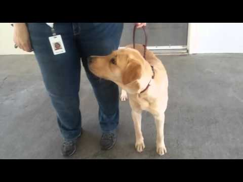 Guide Dog For The Blind Being Trained