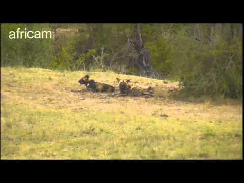Oct 18 Nkorho Cam: Wild Dogs, Elephant  Part One