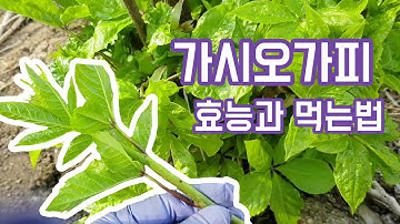 가시오가피(acanthopanax senticossus)의 효능과 먹는방법, 약초공부 같이해요~