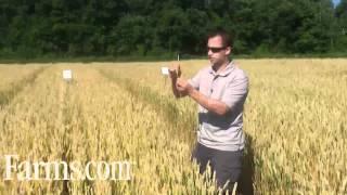 Agronomy Video: Increased Fusarium Head Blight Risk In Wheat