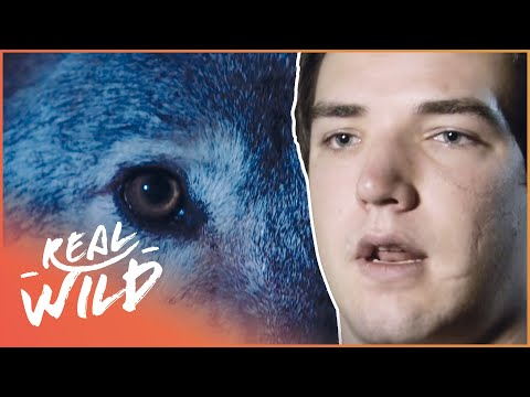 Lone Wolf Attack! | Human Prey | Real Wild Documentary
