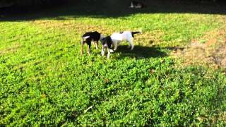 Rescue Pups - Adopted!  4.5 Month Old Mutt Puppies Available Lab Cattledog Dalmation Hound Mix?