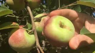 Pick-your-Own apple season started at Rogers Orchards in Southington