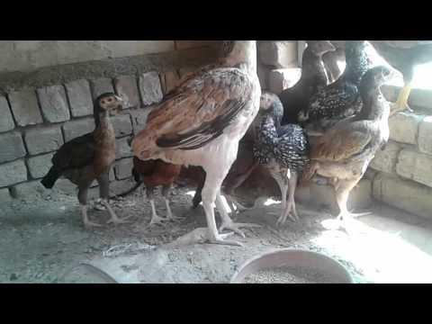 Aseel hen  &  chickens