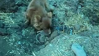 Маленькая собака ловит больших крыс
