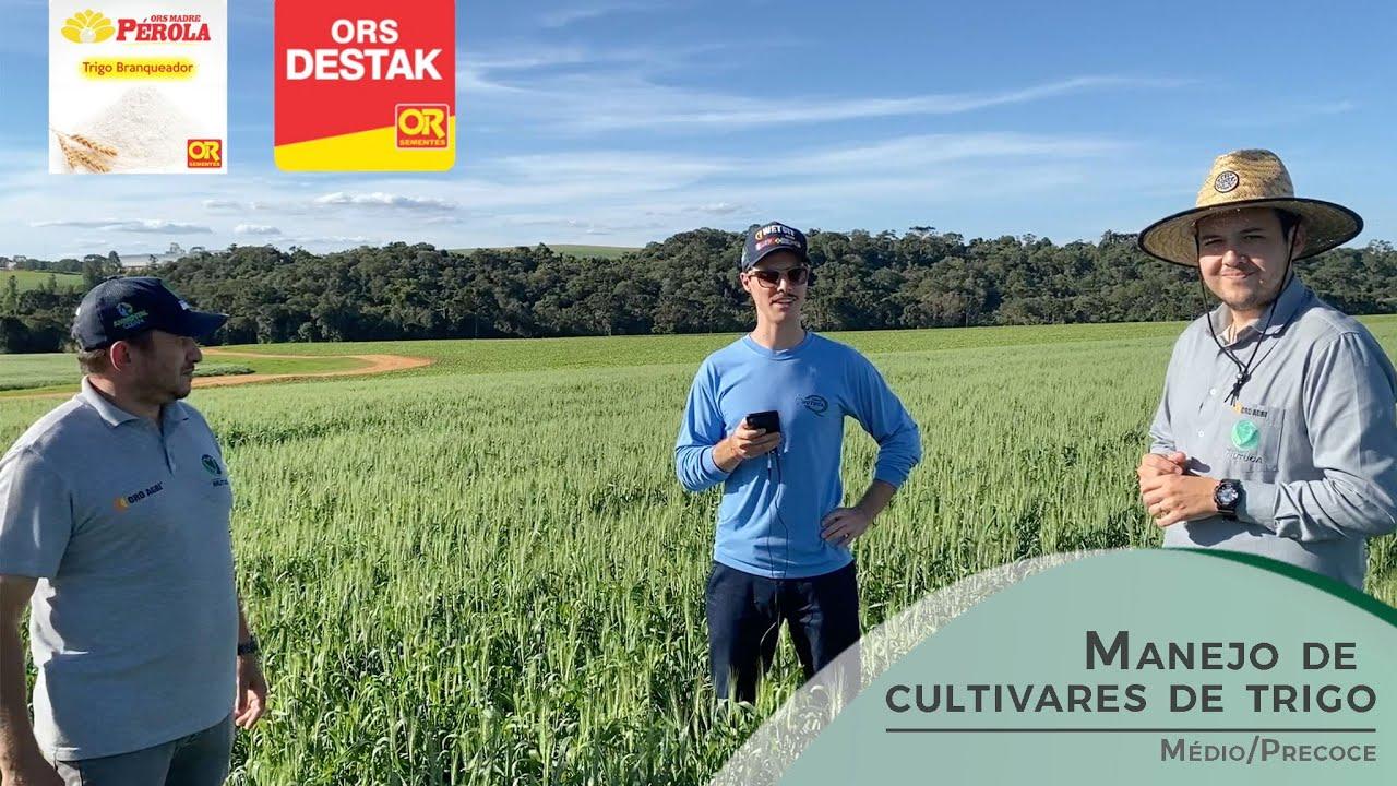 Manejo de cultivares de trigo médio/precoce!