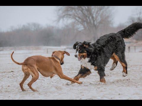 Rhodesian Ridgeback and Bernese Mountain Dog Playcation