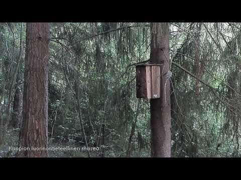 Liito-oravan yöllinen kotiinpaluu