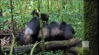 Gang of Chimps Torture and Kill a Lone Chimp