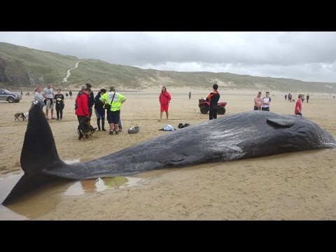 Stranded Sperm Whale on Perran Beach (Perranporth) in Cornwall UK