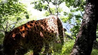ID1557/ФГБУ Земля леопарда/Кошачьи/Хозяин заповедника Кедровая падь (5)