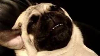 Snoring And Passed Out Pug, Volume Up!