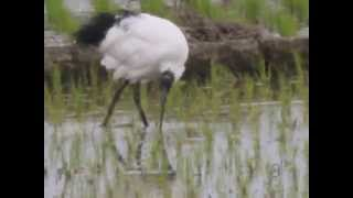 African Sacred Ibis An adult individual is about 70 cm long with all-white body plumage apart from dark plumes on the rump. The bald head and neck, thick curved bill and legs are black.  埃及聖鹮,原產於中東。成鳥約70公分全身羽毛白色啄,頭,尾,腳黑色。根據傳說,在十多年前,新竹某動物園將「埃及聖環」引進台灣,從鳥籠逃脫。在台灣繁殖。