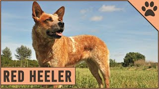 Red Heeler Dog Breed  The Australian Cattle Dog
