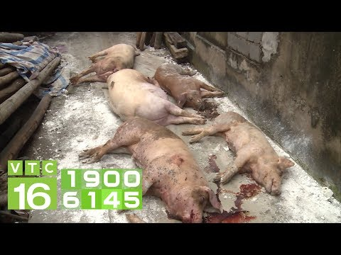 3 dấu hiệu nhận biết lợn dính dịch tả Châu Phi    VTC16