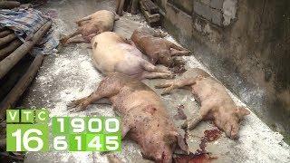 3 dấu hiệu nhận biết lợn dính dịch tả Châu Phi  | VTC16
