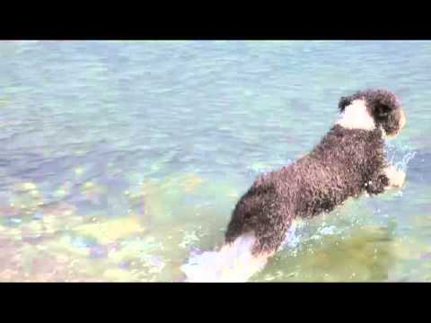 Marley the Spanish Water Dog goes swimming