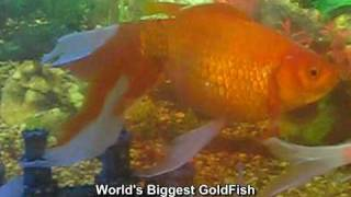 World's One Of The Biggest GoldFish in Hyderabad - Mohammed Sirajuddin
