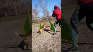 Сокращение траектории прыжка собаки в Аджилити бигль Бади Собачье Хобби Харьков Doggy Hobby