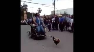 Ayam terkuat di dunia