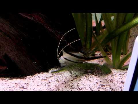 Angelfish Freak Out And Die