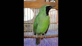 Suara burung cucak ijo 2014 kalimantan