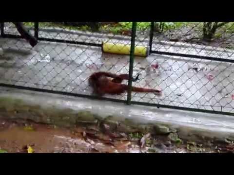 Mono Bailando (Animales Graciosos 2015)