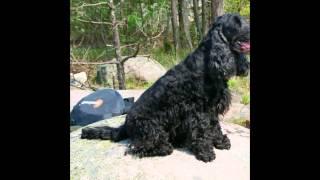 Английский   Кокер-Спаниель/English Cocker Spaniel (порода собак HD slide show)!