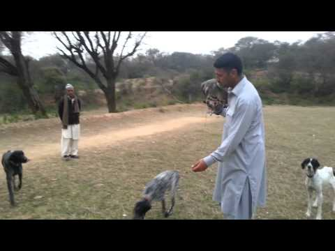 Pointer dog and Goshawks dadyal A Kashmir