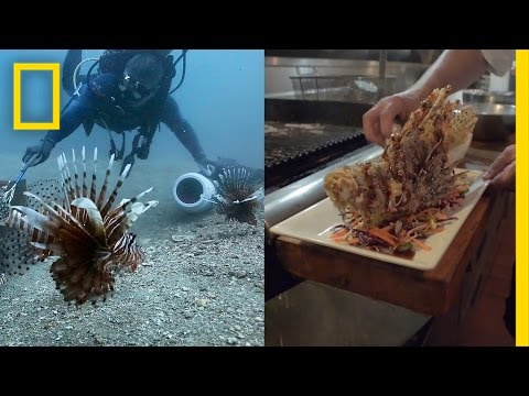 How Eating Venomous Lionfish Helps The Environment | National Geographic