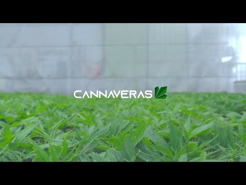 Cannaveras Genetics – Industrial Hemp clone production