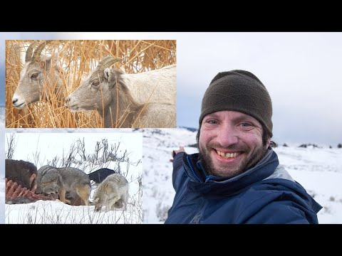 Hiking YELLOWSTONE IN THE WINTER! Coyotes, Bison, & Bighorn Sheep. VLOG. WANDER in WONDER 14