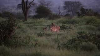 Lions greet the sunrise as dawn breaks over Africa - African Wildlife Sightings.