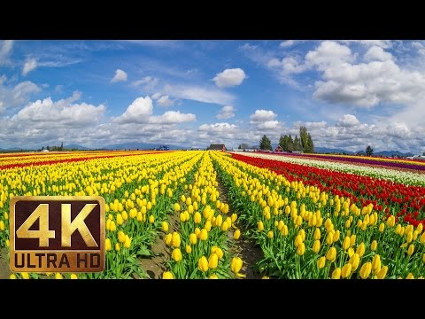 3.5 HRS - Background Piano Music & 4K TV Screensaver | Skagit Valley Tulip Festival - Part 12