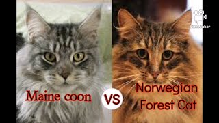 Maine Coon vs Norwegian Forest Cat | What are the differences?