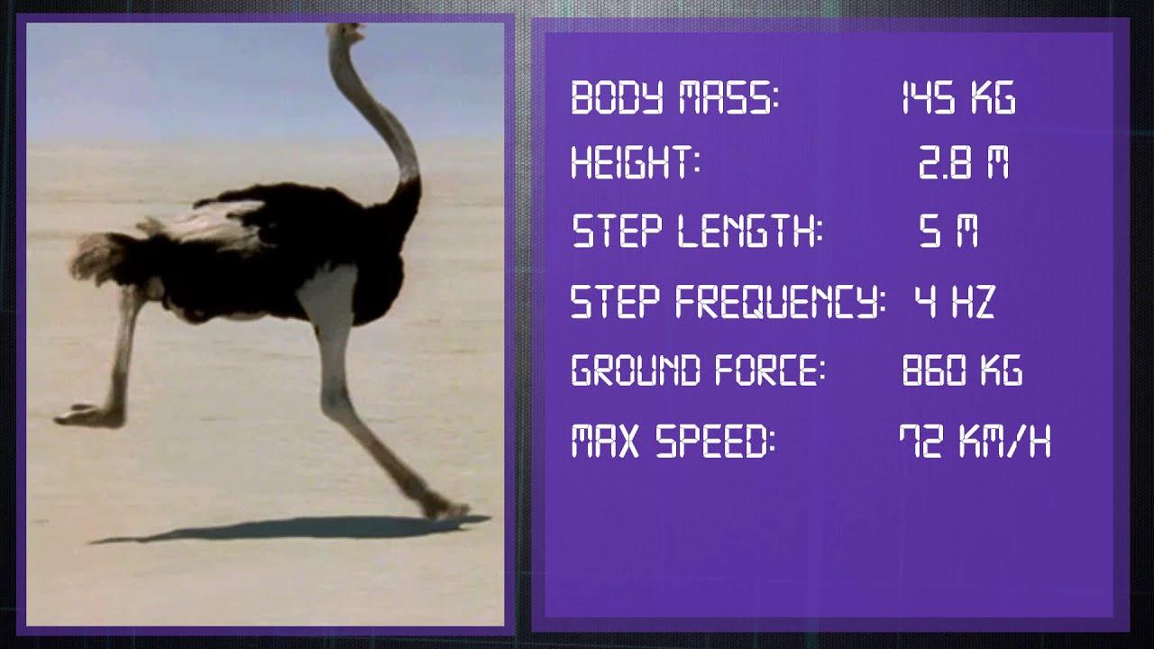 Ostrich vs Fastest Men on Earth   Comparison