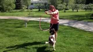 Izzy The English Springer Spaniel Practices Her Springing