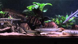 Datnioides, polypterus, Florida Gar and others FEEDING TIME!