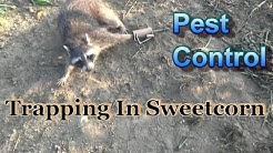 Pest Control Raccoon Trapping