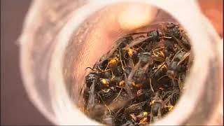 Novas trampas contra a avespa asiática a base de zume de arandos e ácido acético